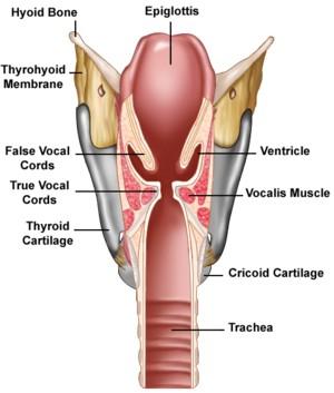 larynx rock saturation   Technique vocale pour le chant ...