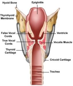 larynx fausses cordes